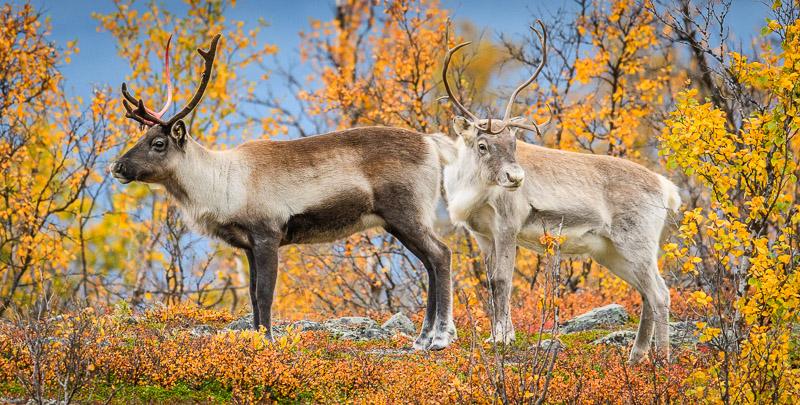 Rentiere während der Ruska in Lappland