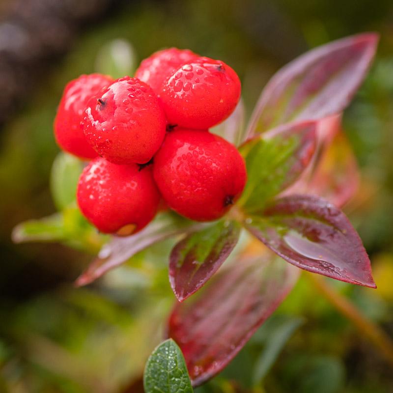 Beeren in Lappland während der Ruska