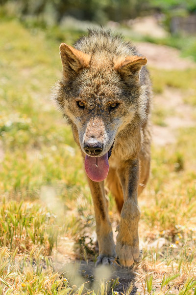 Wolf im Lobo Park in Andalusien