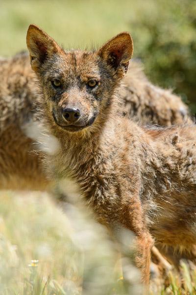 Porträt von jungem Wolf im Lobo Park in Andalusien