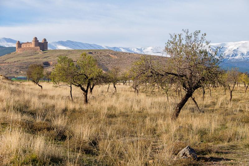 Olivenbäume vor dem Castillo von La Calahorra
