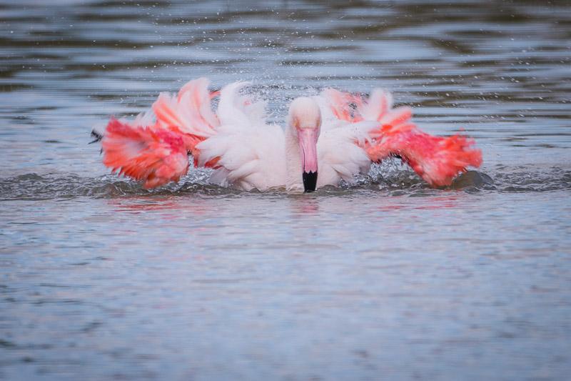 Flamingo beim Bad in Fuente de Piedra, Andalusien