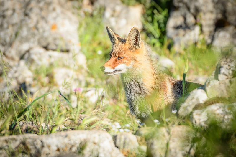 Fuchs zwischen Steinen in Torcal de Antequera, Andalusien