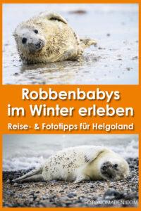 Robben fotografieren auf Helgoland
