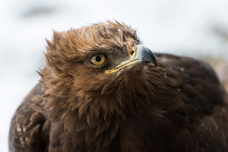 Adler, Porträtfoto, Nationalpark Bayerischer Wald