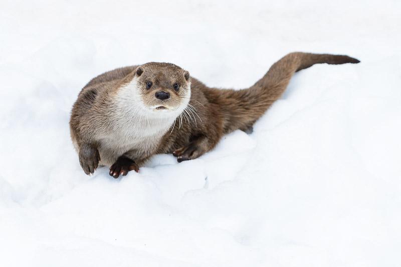 Fischotter im Schnee, Tierfotografie Nationalpark Bayerischer Wald