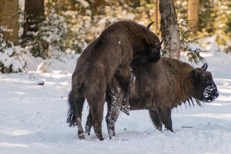 Tierfotografie im bayerischen Wald: Wisent im Schnee