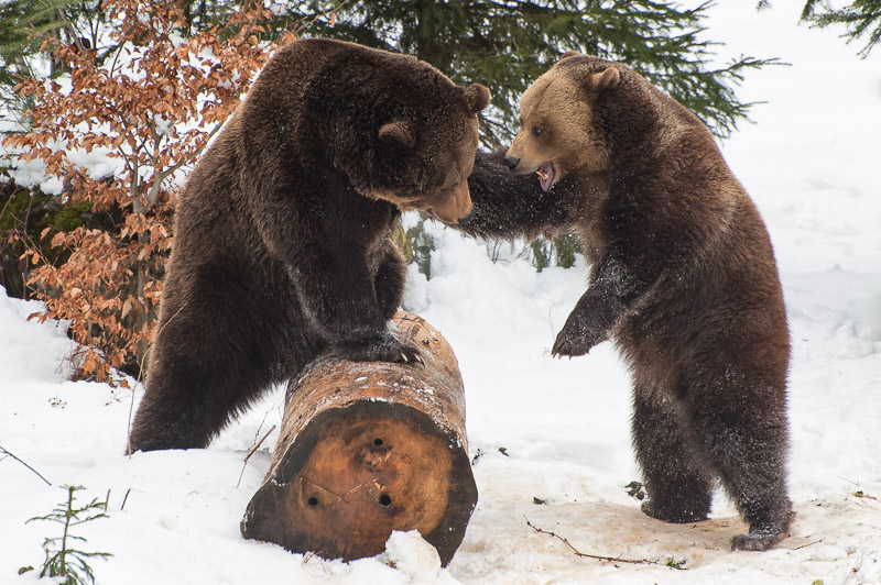 Braunbären kämpfen im Schnee, Tierfotografie im Nationalpark bayerischer Wald