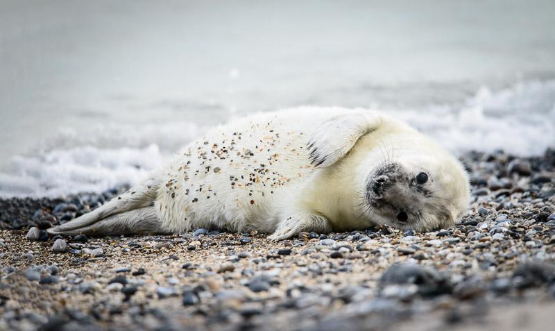 Winter Reiseziel Helgoland: Babyrobbe am Strand