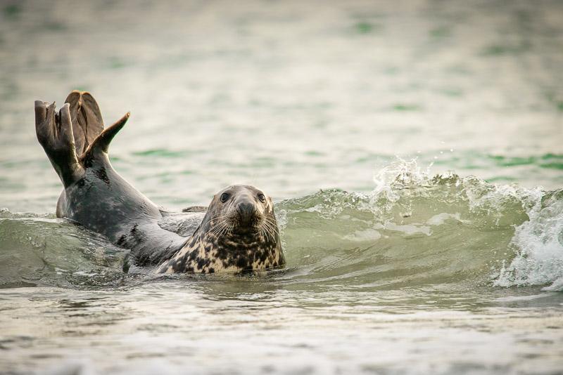 Helgoland, Kegelrobbe im Wasser