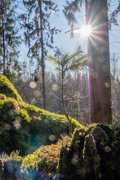 Junger Nadelbaum im Gegenlicht mit Blendenstern