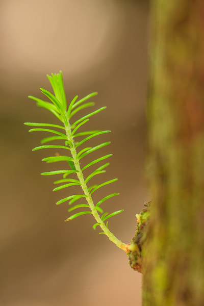 Nahaufnahme, junger grüner Zweig von Nadelbaum