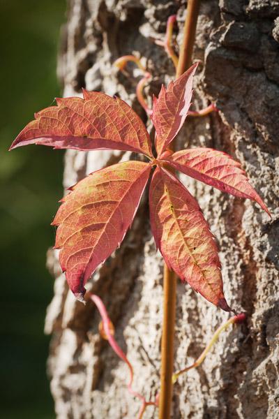 Wald Nahaufnahme, Baumrinde mit rotem Blatt