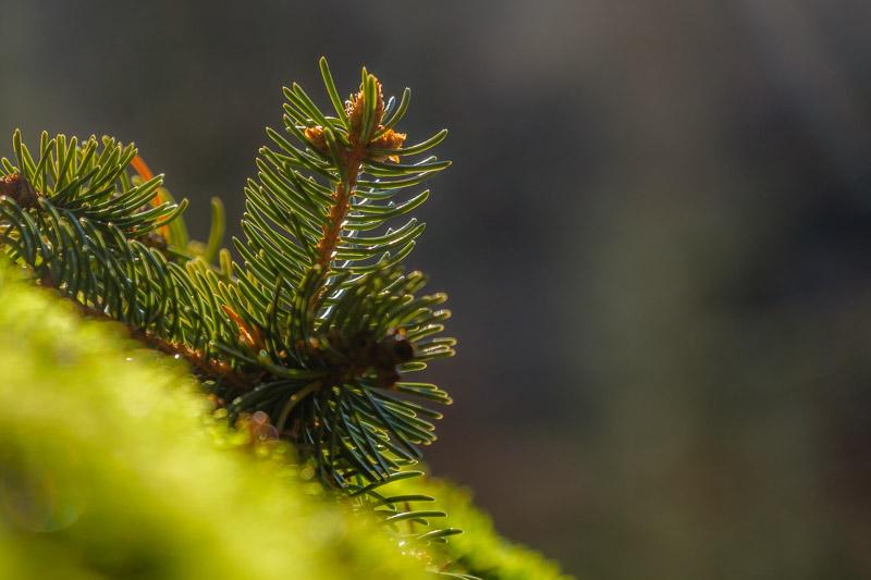 Wald Fotografie: Nahaufnahme von Nadelbaumzweig