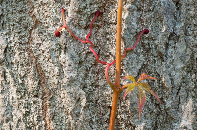 Rote Ranken auf Baumstamm
