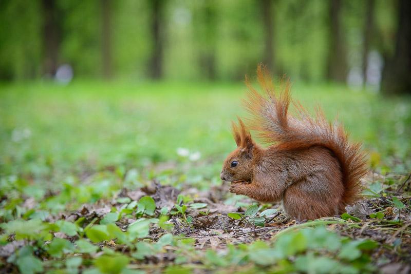 Naturfotografie von Eichhörnchen auf Waldboden
