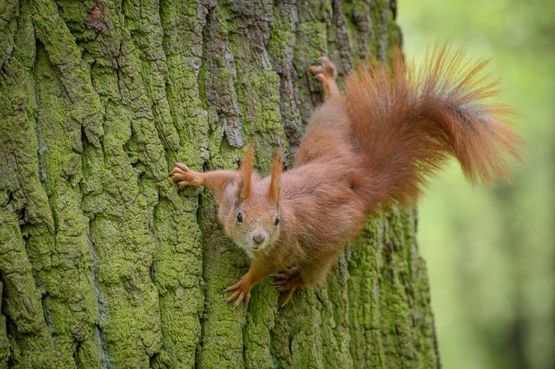 Nahaufnahme Eichhörnchen auf Baumstamm