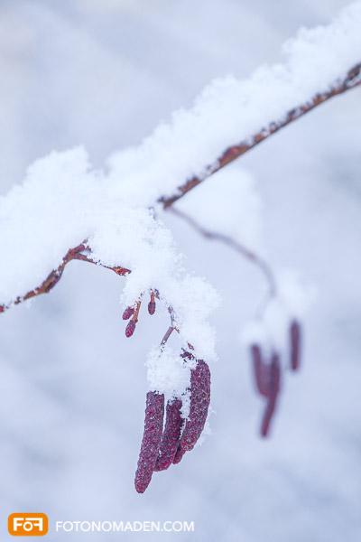 Nahaufnahme von roten Blütenkätzchen mit Schnee