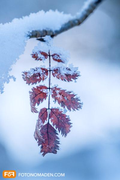 Rotes Blatt mit Raureif vor blauem Hintergrund, schöne Winterbilder Fototipps