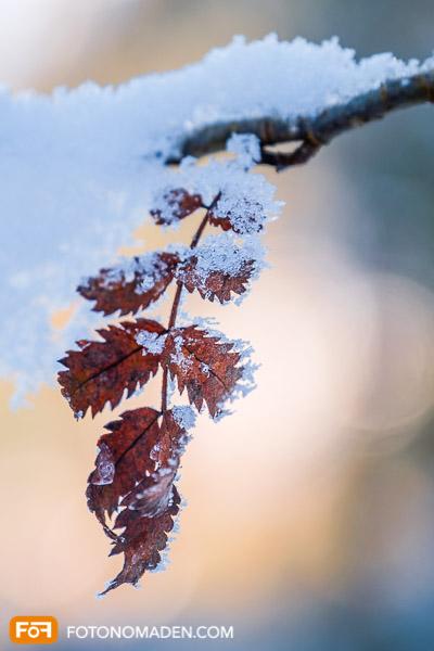 Rotes Blatt mit Schnee, Winter Nahaufnahme