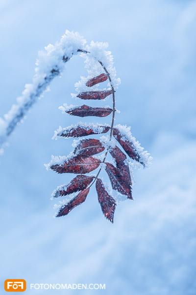 Blatt mit Raureif, schönes Winterbild mit Kontrast