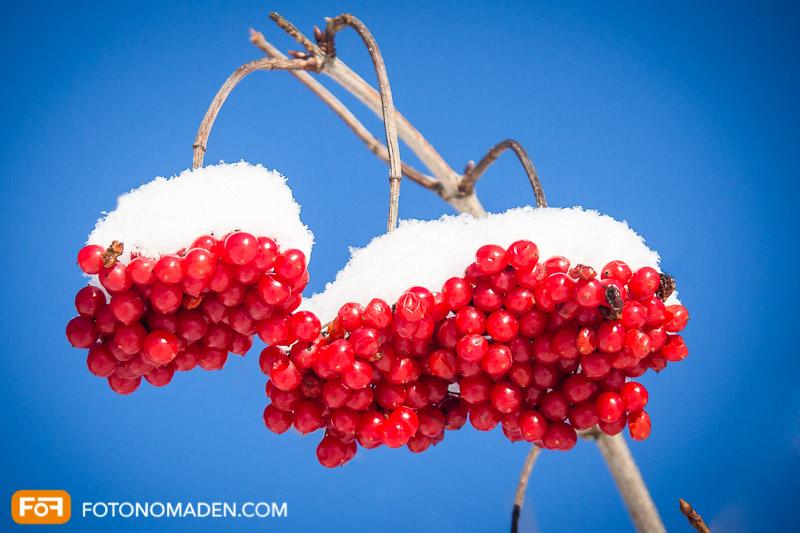 Rote Beeren mit Schnee vor blauem Himmel, schöne Winterbilder mit starkem Farbkontrast