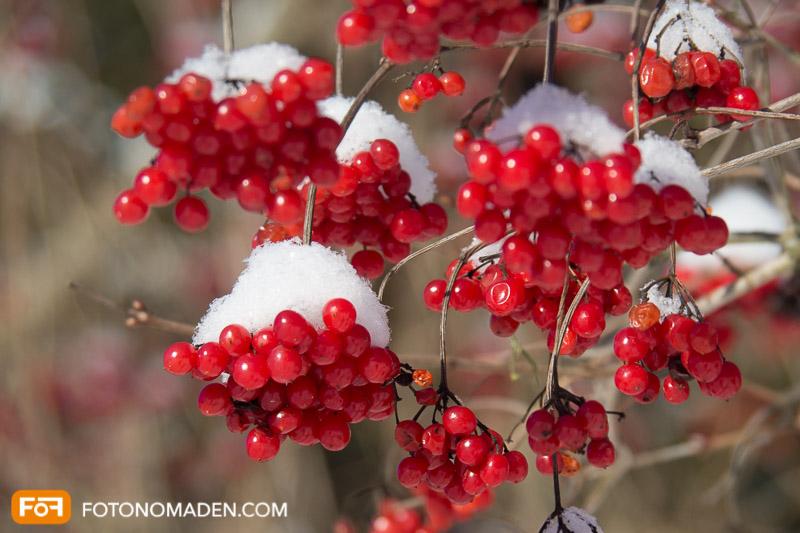Rote Beeren mit Schnee vor unruhigem Hintergrund