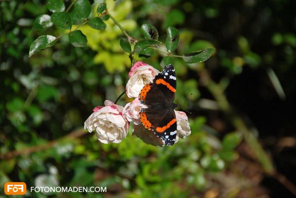Schmetterlingsfoto von damals