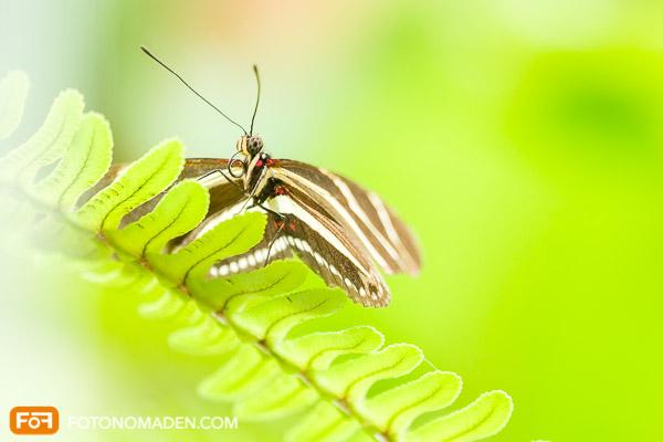 Schmetterlingsfoto Fotonomaden