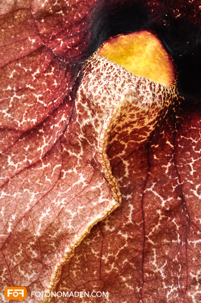 Makrobild von Detail von Frauenschuh Orchidee