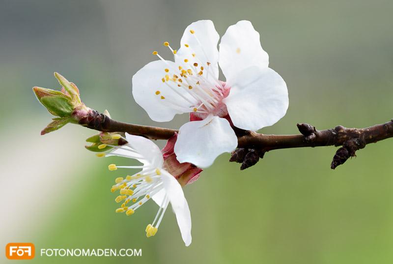 Makrofotografie von Obstbaumblüte