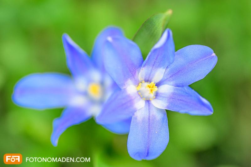 Makrofotografie für Einsteiger - Blaue Blüten von oben