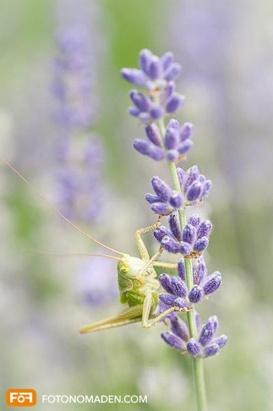 Makrofotografie Insekten - Heuschrecke auf Lavendelblüte