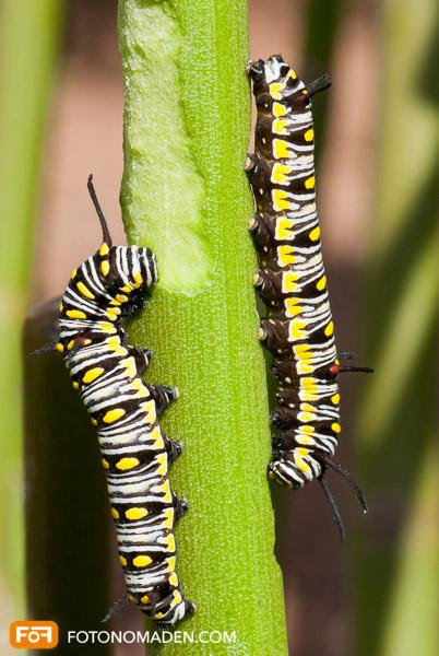 Makrofotografie Insekten - Monarch Raupen auf Stängel