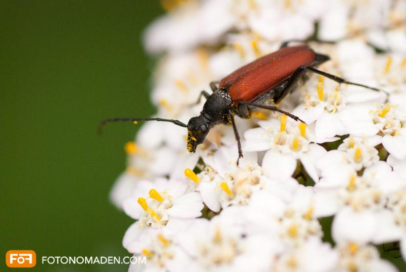 Makrofotografie Insekten - Rot-schwarzer Käfer auf weißer Blüte