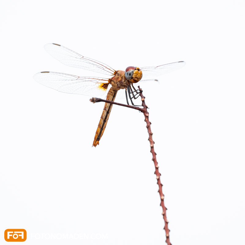 Makrofotografie Insekten - Libelle auf Stängel vor weißem Hintergrund