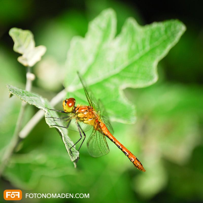 Makrofotografie Insekten - Libelle auf grünem Blatt
