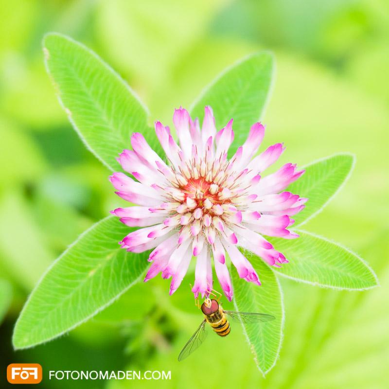 Makrofotografie Insekten - Gallwespe auf rosa Kleeblüte