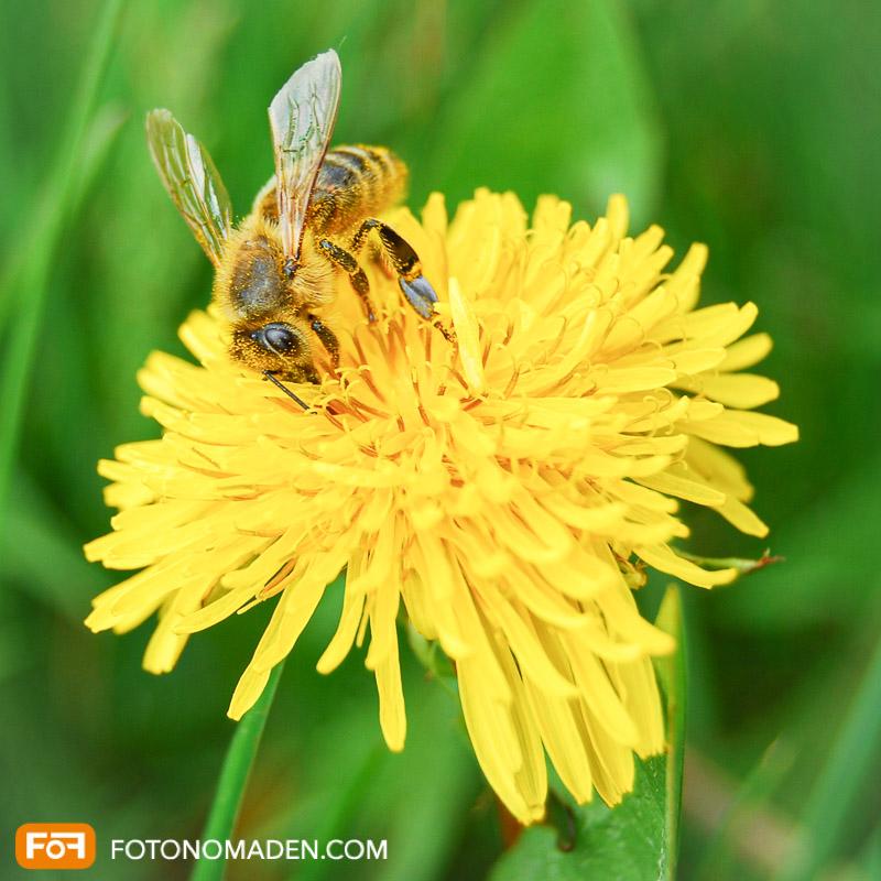 Makrofotografie Insekten - Honigbiene auf Löwenzahnblüte