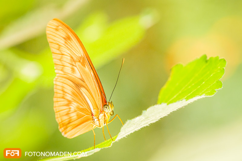 Makrofotografie Insekten - oranger Schmetterling auf Blatt