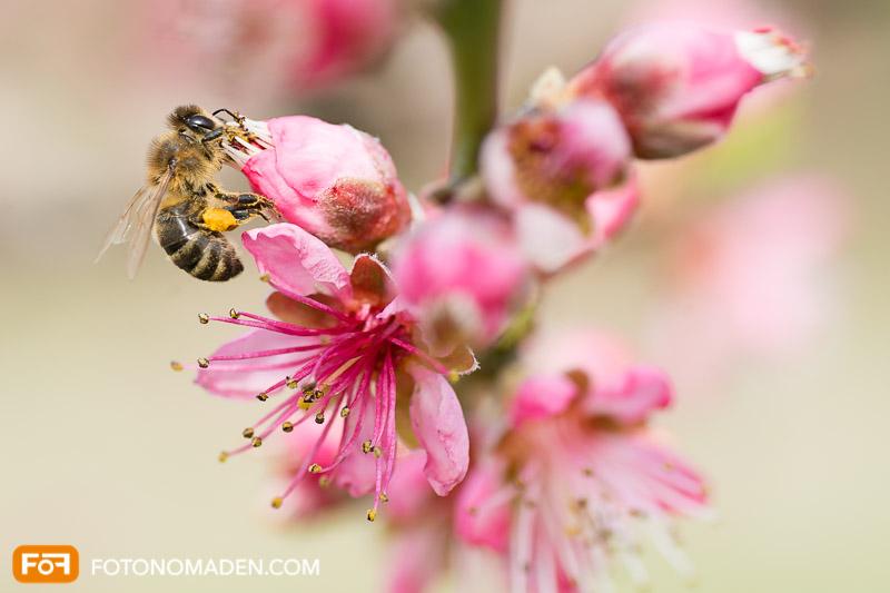 Makrofotografie Insekten - Honigbiene auf rosa Pfirsichblüte