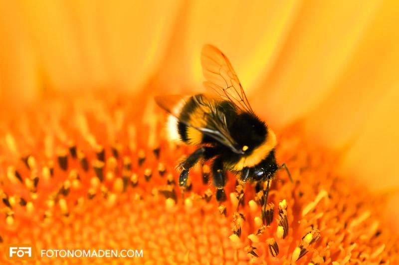 Makrofotografie Insekten - Hummel auf Sonnenblume