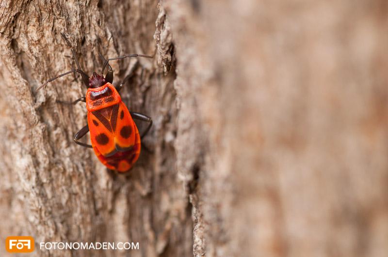 Makrofotografie Insekten - Feuerwanze auf Baumstamm