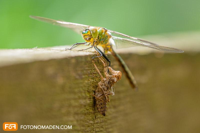Makrofotografie Insekten - frisch geschlüpfte Libelle mit Hülle auf Zaun