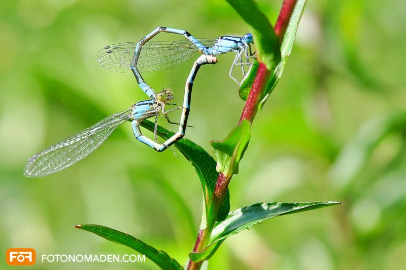 Makrofotografie Insekten - Paarende, blaue Libellen