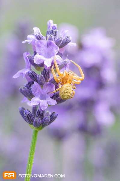 Makrofotografie Insekten - Gelbe Spinne auf Lavendelblüte