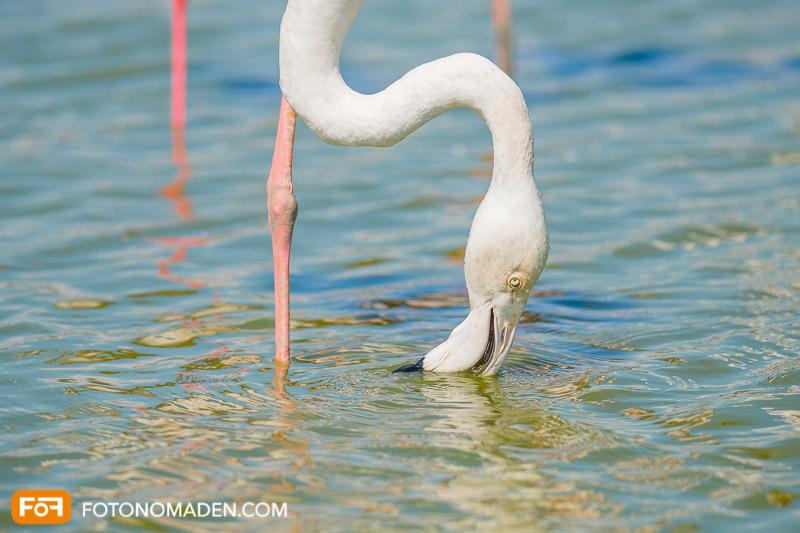 Bildgestaltung mit Automatik: Flamingo im Wasser