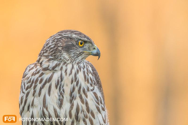 Schöne Herbstbilder: Raubvogel vor gelbem Hintergrund