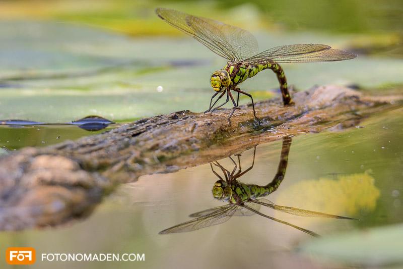 Schöne Herbstbilder: Libelle auf Ast mit Spiegelung im Wasser