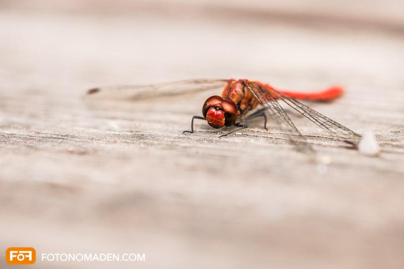 Schöne Herbstbilder: Rote Libelle